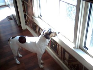 Kate, a Beagle mix, is deep in thought. Or else she is staring at the Alpaca herd outside the living room window.
