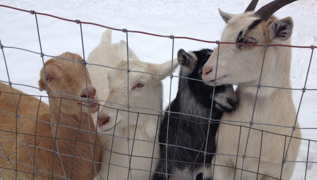 cropped-goatssnuggledup2.jpg